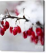 Red Winter Berries Under Snow Canvas Print