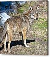 Red Wolf Canvas Print