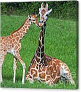 Reticulated Giraffe Calf With Mother Canvas Print