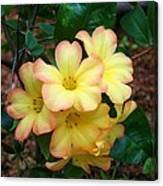 Rhododendron 'toff' Canvas Print