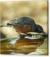 Robin Drinking Canvas Print