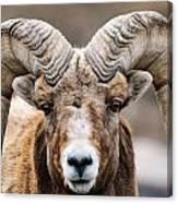 Rocky Mountain Big Horned Sheep Canvas Print