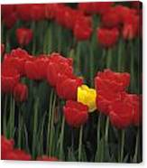 Rows Of Red Tulips With One Yellow Tulip Canvas Print