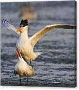 Royal Terns Canvas Print