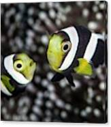 Saddleback Anemonefish Canvas Print