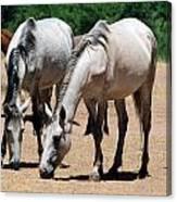 Salt River Wild Horses Canvas Print