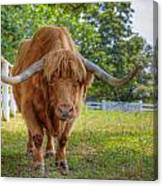 Scottish Highlander Ox Canvas Print