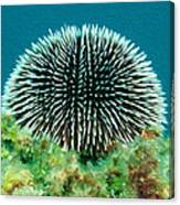 Sea Urchin Canvas Print