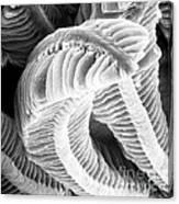 Sem Of Guppy Fish Gill Canvas Print
