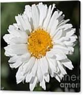 Shasta Daisy Named Paladin Canvas Print