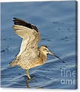 Short-billed Dowitcher Canvas Print