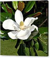 Single Magnolia Canvas Print
