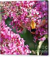 Snowberry Clearwing Hummingbird Moth Canvas Print