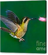 Speckled Hummingbird Canvas Print