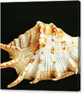 Spider Conch Canvas Print