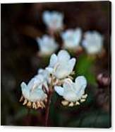 Spotted Wintergreen 2 Canvas Print