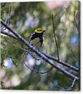 Spring Black-throated Green Warbler Canvas Print