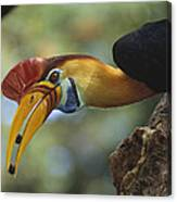 Sulawesi Red-knobbed Hornbill Male Canvas Print
