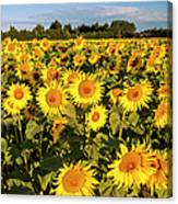 Sunflowers At Dawn Canvas Print