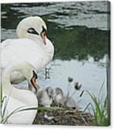 Swan Family Canvas Print