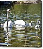 Swan With Signets Canvas Print