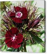 Sweet William Named Sooty Canvas Print