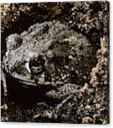 Texas Toad Canvas Print