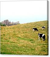 The Cows Of Dunnottar Castle Canvas Print