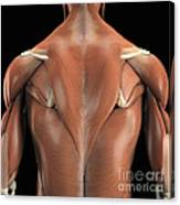 The Muscles Of The Back Canvas Print