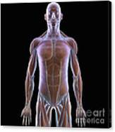 The Muscles Of The Upper Body Canvas Print
