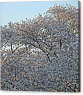 The Simple Elegance Of Cherry Blossom Trees Canvas Print