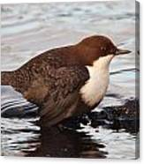 The White-throated Dipper Canvas Print