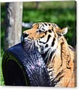 Tiger Playing Canvas Print
