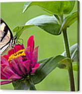 Tiger Swallowtail Butterfly On Zinnia Canvas Print