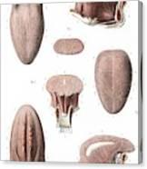 Tongue Anatomy Canvas Print