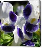 Torenia From The Duchess Mix Canvas Print