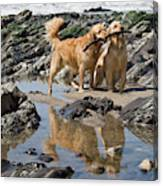 Two Golden Retrievers Playing Canvas Print