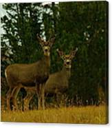 Two Young Bucks Canvas Print