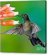 Tyrian Metaltail Canvas Print
