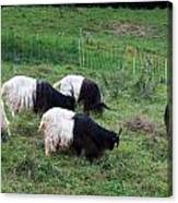 Valais Blackneck Goats Canvas Print