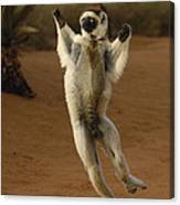 Verreauxs Sifaka Hopping Berenty Canvas Print