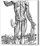 Vesalius: Muscles, 1543 Canvas Print