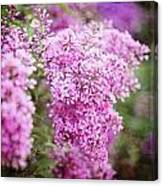 Vintage Lilac Canvas Print