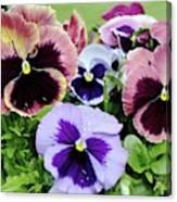 Viola 'coastal Sunrise' Flowers Canvas Print