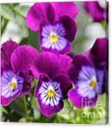 Viola Named Sorbet Plum Velvet Jump-up Canvas Print