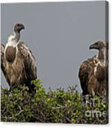 Vultures With Full Crops Canvas Print