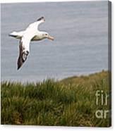 Wandering Albatross Canvas Print