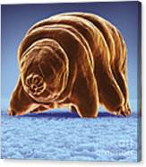 Water Bear Tardigrades Canvas Print