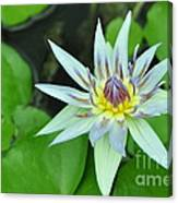 Water Lily  3 Canvas Print