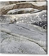 Weddell Seal Canvas Print
